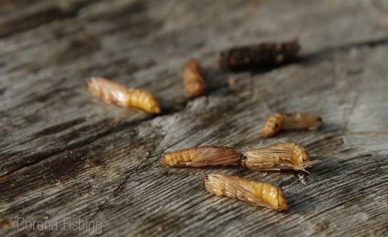larwa chruścika